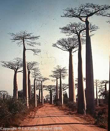 Baobab: Adansonia za