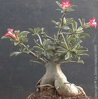 Adenium or Desert Rose