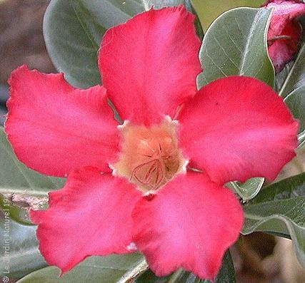 Adenium obesum rosa del deserto for Rosa pianta