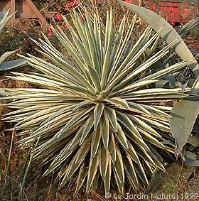 Agaves for Le jardin naturel lespinasse