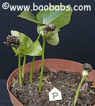 Adansonia perrieri, malagasy baobab, the rarest baobab, seedlings