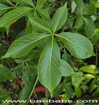 Adansonia suarezensis, malagasy baobab