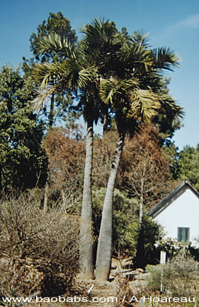 jeune pousse palmier 1 seedling  hyophorbe verschaffeltii