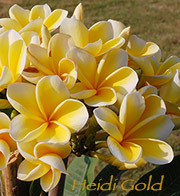 Plumeria rubra HEIDI GOLD aka HEIDI, PURE GOLD, KOKOHEAD YELLOW, PETERSON S GOLD , ROBERT ANSPACH S YELLOW, ROBAN S YELLOW