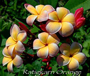 Plumeria rubra RATIGKARN ORANGE