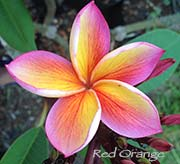 Plumeria rubra RED-ORANGE aka X*JL RED-ORANGE, BLOODY MARY