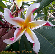 Plumeria rubra MADAME PONI aka CORKSCREW, CURLY HOLT, WAIANAE BEAUTY, STAR, PONYTAIL , WAIANEA BEAUTY, PONY TAIL