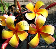 Plumeria rubra SOM RAYA aka  FIRESTORM, CEYLON BEAUTY, SHOOTING STAR, RAYA ORANGE, THAI FIRESTORM, RED ORANGE
