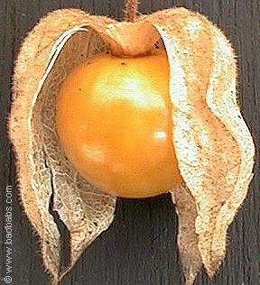 La cerise de terre - Amour en cage comestible ...