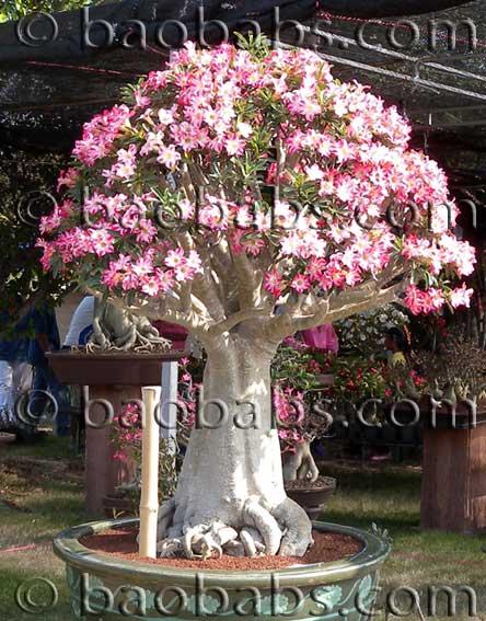Adenium - Desert Rose