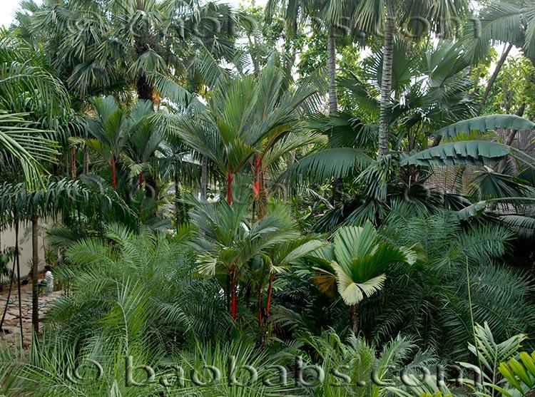 palmiers tropicaux. Black Bedroom Furniture Sets. Home Design Ideas