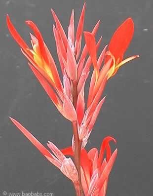 Fleurs tropicales exotiques plantes et graines vente for Vente de fleurs par correspondance