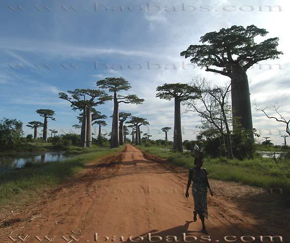 Adansonia baobab for Baobab jardin