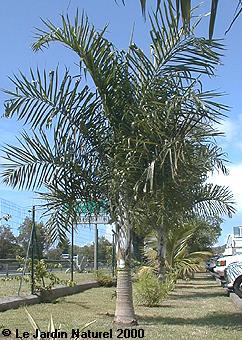 palmiers exotiques tropicaux. Black Bedroom Furniture Sets. Home Design Ideas