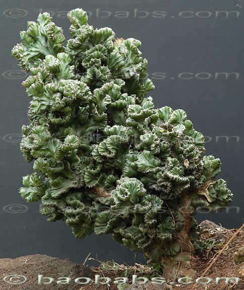 Bien-aimé Euphorbia_lactea_cristata.jpg RT14