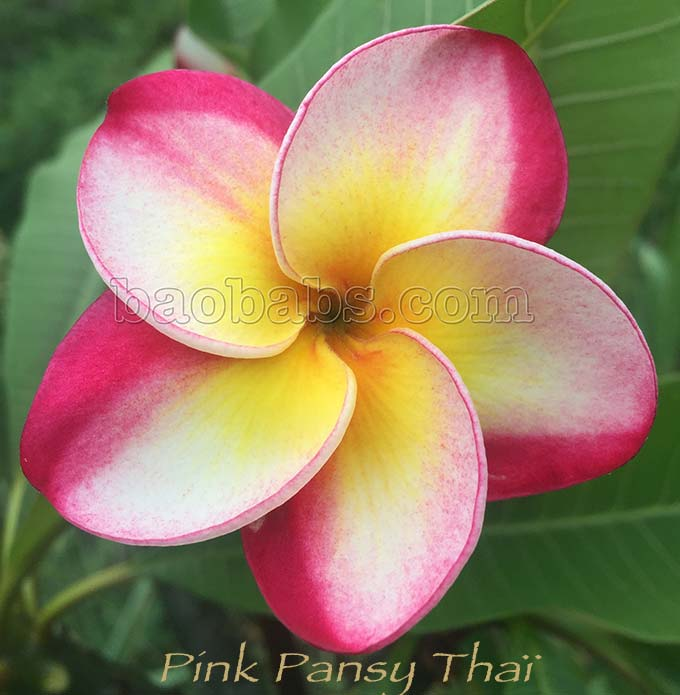 Pink pansy flowers images flower decoration ideas plumeria rubra pink pansy thai mightylinksfo images mightylinksfo Choice Image